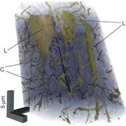 Учёные испытали метод тонкой рентгеновской томографии