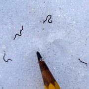 Ледяные черви помогут хранить органы для трансплантации