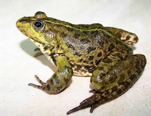 Более 70 заболеваний может вылечить кожа лягушек